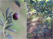 Olive nere 2